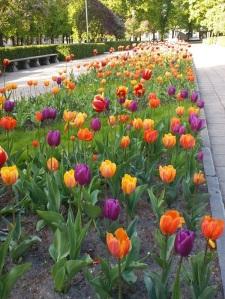 tulipanii