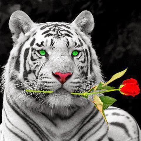 tigre2bamica