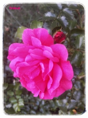 7d541-rosa